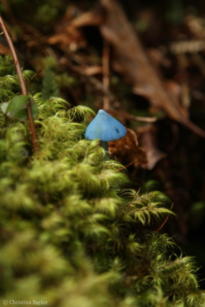Tiny Blue Mushroom WM2