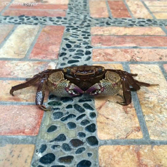 Little crabs are everywhere on Bali's north coast