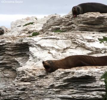 Sleepy seals on the Kaikoura Peninsula