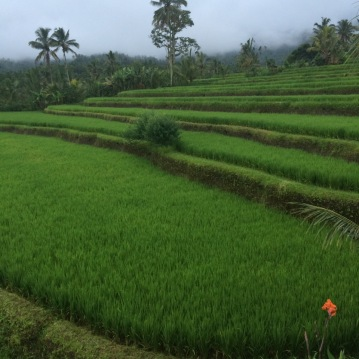 Rice fields at Lesong Hotel in Gesing Village on Bali