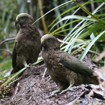 Mischievous Kea birds checking us out on the trail