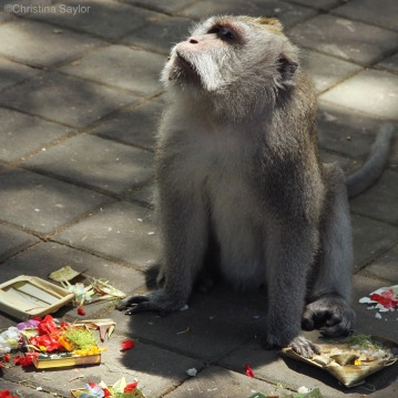 Somebody ate the offerings at the Ubud Monkey Forest on Bali