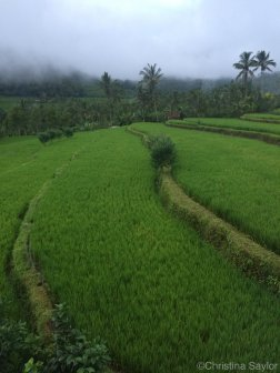 Indonesia: Rice fields in Gesing Village on Bali