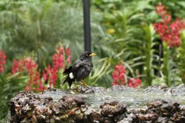 Singapore: Myna bird at the Botanic Gardens
