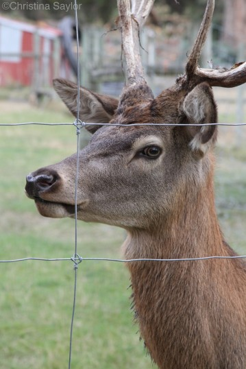 Red deer at Walter Peak High Mountain Farm
