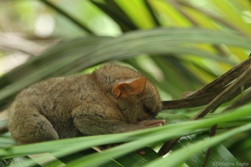 The Philippines: Tarsier Research Foundation