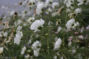 Wildflowers on the shore of Lake Wakatipu