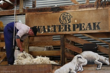 Look who's next for a shearing at the Walter Peak High Country