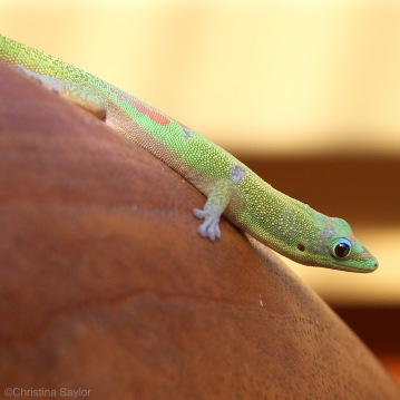 A gecko in my cottage on the Big Island
