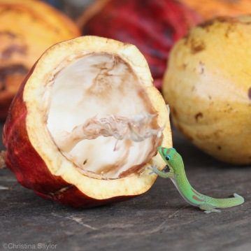 Gecko looking for seeds in an empty cacao pod