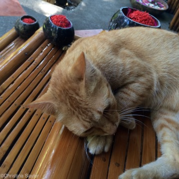One of seven orange cats that kept me company in Dauin