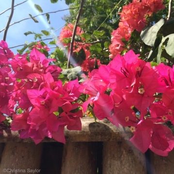 Pretty bougainvilleas are everywhere in the Philippines