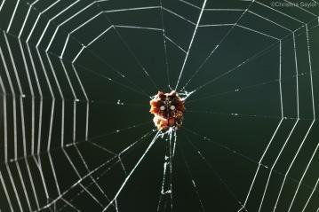 Spiny-backed spider (Hawaiian Gasteracantha cancriformis)