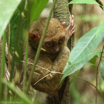 The adorable Tarsier, one of the world's smallest primates, on Bohol