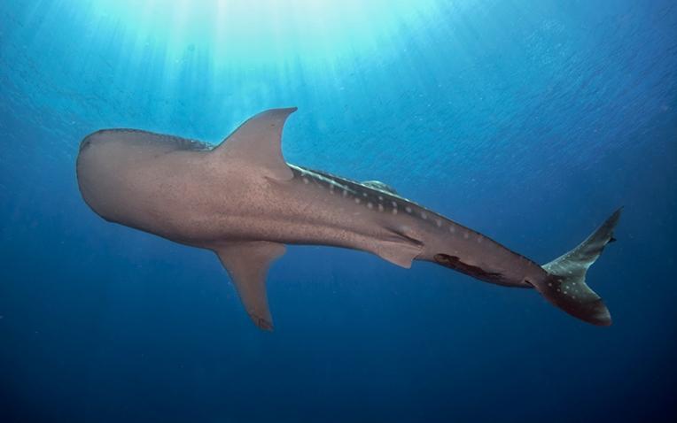 12_Tubbataha_Whale Shark_DH