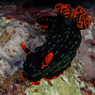 Nudibranch, Indonesia. Photo by Timon Bogumil.