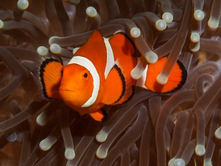 Sassy clownfish, Indonesia. Photo by Timon Bogumil.