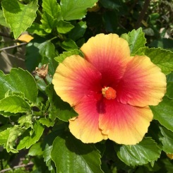 Hibiscus along the road in Dauin