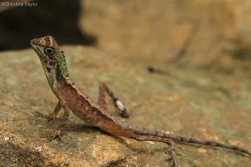 Lizard in Sinharaja rainforest