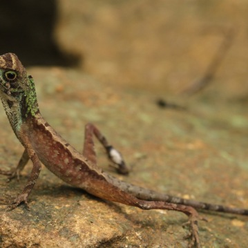 Lizard in Sinharaja rainforest