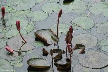 Lotus plants in the rain