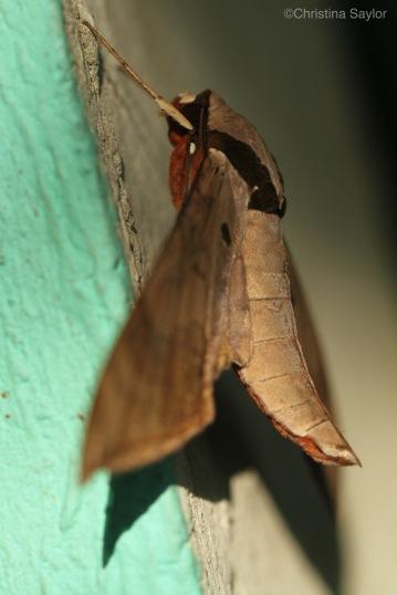 Moth in Sinharaja rainforest