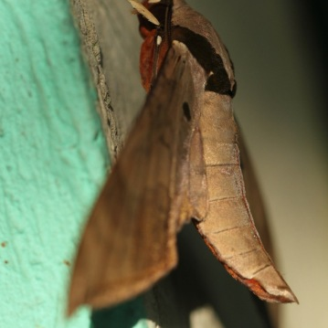 Moth in Sinharaja rainforest