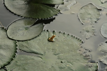 The tiniest frog at the Datai Langkawi