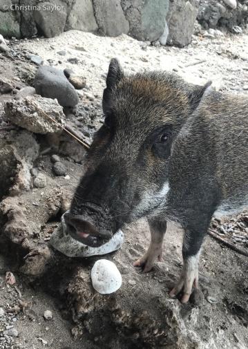 Cute pig at Mario's Place in Adara