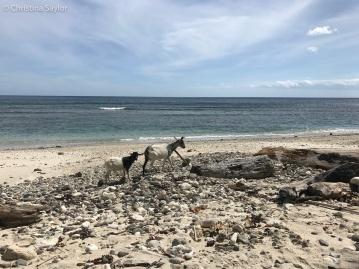 Goats on the beach in Adara